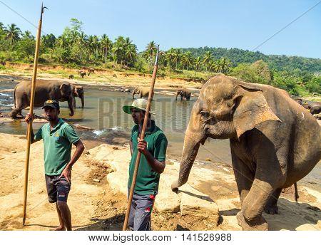 PINNAWELA SRI LANKA - FEBRUARY 03 2016: Elepants Bathing in River in the Pinnawela Elephant Orphanage in Pinnawela jungle Sri Lanka.