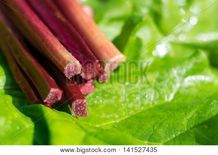 Freshly picked healthy rhubarb stems on green leaf with room for writing.