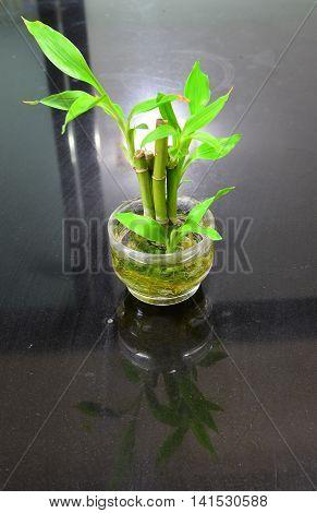 Little Bamboo (Dracaena braunii), Plant, Rayong, Thailand