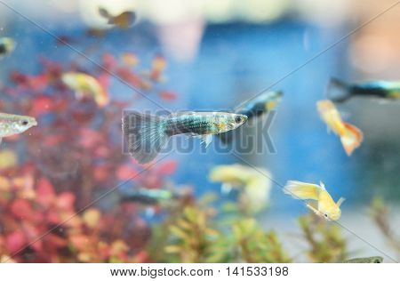 Guppy in a fish tank (Poecilia reticulata)