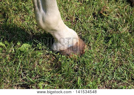 Purebred young racehorse showing horseshoes during training on racecourse