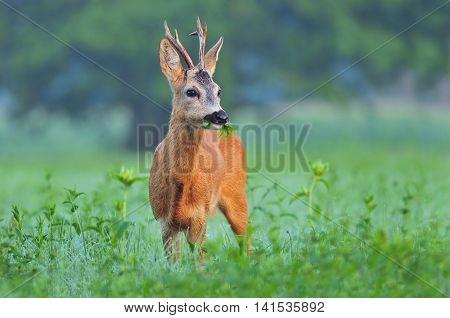 Wild roe deer standing in a field and eating weed