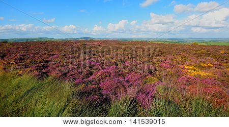 Wildflower meadow in bloom on Hardown Hill near village of Morcombelake in Dorset England