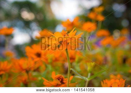 Cosmos flowers in full bloom in the garden.