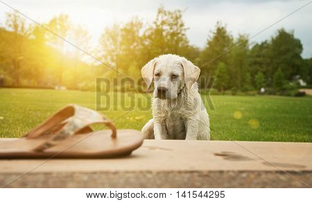 a wet labrador puppy sitting in the park at sunset and looking at a shoe he would probably bite too happy - pretty dog