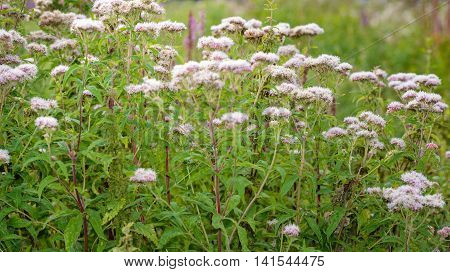 Budding and sweetly scented pink flowering Valerian plants in their own natural habitat in a Dutch nature reserve in the summer season.