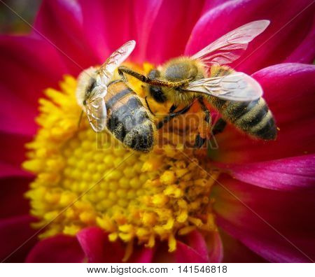 Two bees having an argument on a yellow pink flower