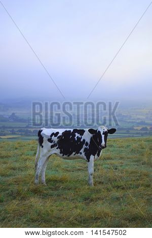 Cow on a farmland on Musbury Hill Devon in a misty crack of dawn with Axe Valley in background.