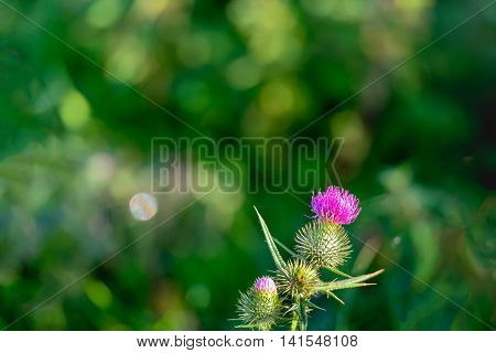 Closeup of a pink-purple flowering Spear Thistle or Cirsium vulgare against its blurred own natural habitat. It is early in the morning on a sunny day in the summer season.
