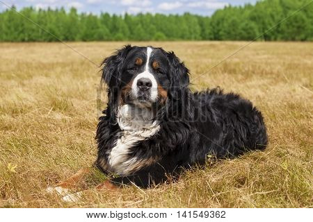 Purebred Bernese Mountain Dog (Berner Sennenhund) lying in the middle of a green lawn on a sunny summer day
