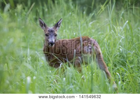 Wild roe deer walking in the tall green grass in the forest