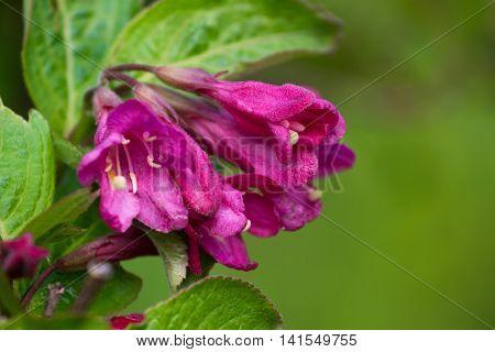 Macro photo Weigela florida plant. Pink stock