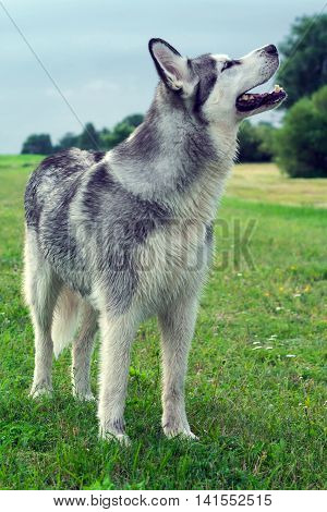 wet fluffy, adult dog alaskan malamute standing on the field with a raised snout up portrait of a full-length in profile, sniffing the air with the wind