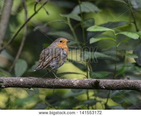 Portrait Of Robin Erithacus Rubecula Bird Sat On Branch In Tree