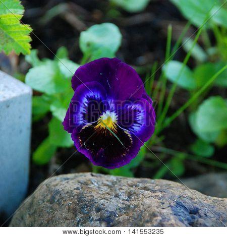 Dark blue flower pansies flower blooms in the garden