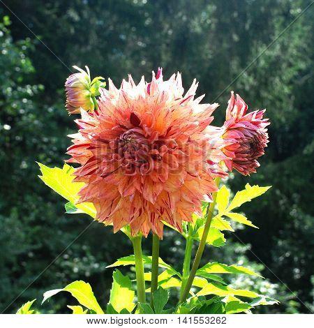 Mottled yellow-orange dahlia flower blooms in the garden