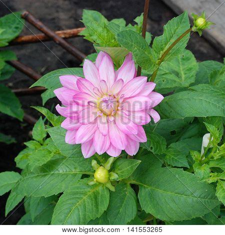 Light pink dahlia flower blooms in the garden