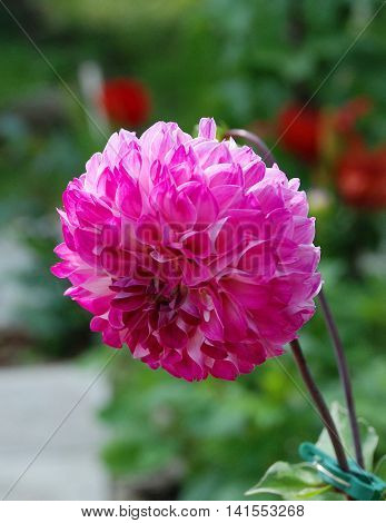 Bright pink dahlia flower blooms in the garden