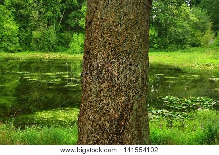 a picture of an exterior Pacific Northwest forest pond with a  old growth Douglas fir tree