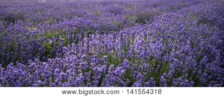 Stunning Landscape Of Lavender Field Withselective Focus For Emphasis On Plants