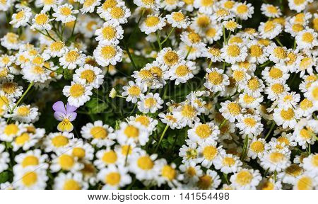 Single pansy flower among flowers pharmaceutical chamomile close-up
