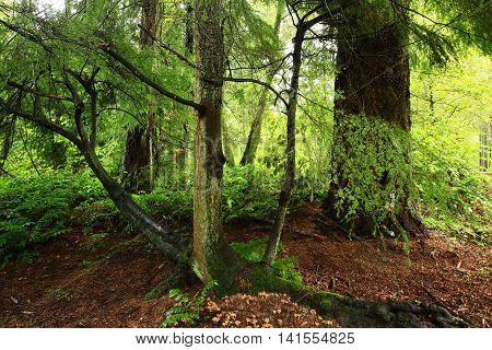 a picture of an exterior Pacific Northwest forest with a old growth and young hemlock trees