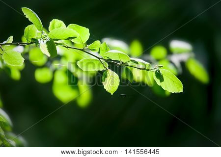 Birch young leaves under sun beams in forest
