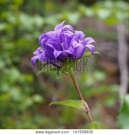 Flower Bluebell crowding (Campanula glomerata) of the family Campanulaceae in Yakutia