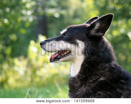 Dog portrait. Natural beautiful backdrop. The muzzle teeth tongue mouth. Dog street homeless