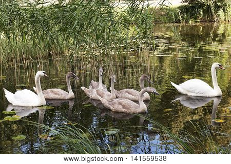 family consisting of several swans floating in a pond, close up
