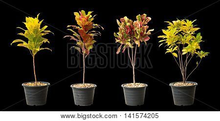 Collection of crotons tree in pot isolated on black background.