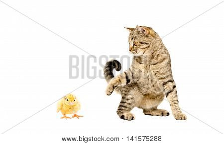 Playful cat Scottish Straight and chicken isolated on white background