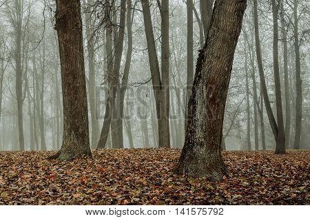 Foggy autumn landscape - autumn bare trees in the autumn park in dense autumn fog