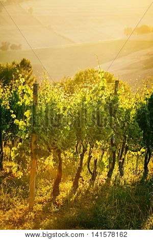 Vineyard rows in backlight at sunset in Marche Italy