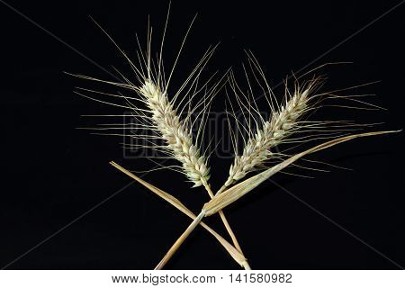 Two ears of barley crossed over each other on a black background