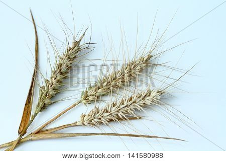three ears of barley isolated on a white background