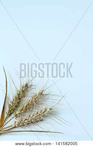 Barley ears isolated in the bottom left corner on a white background
