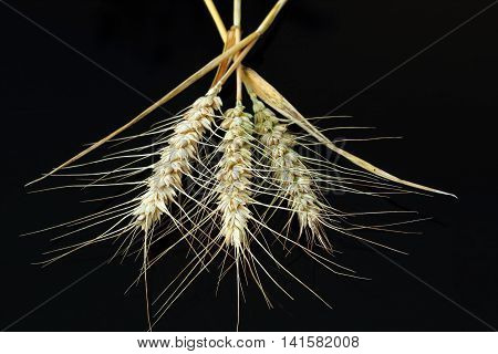 Three Barley ears isolated on a black background