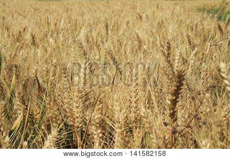Ripe field of barley on summer day