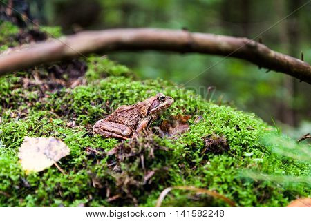 Frog on a green moss in the forest.