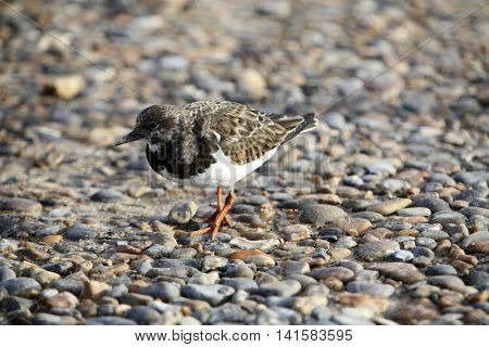 This pugnacious little wader is a common sight around the shores of the UK
