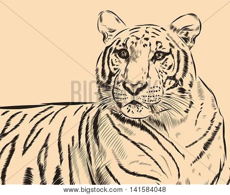 Tiger scetch hand drawn on background. Vector EPS