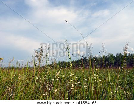 Forb meadow iis a typical community of herbaceous plants in Yakutia
