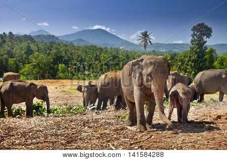 Elephant herd in Sri Lanka. Cub and his mother.