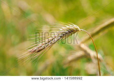 Wheat field closeup on spikelets. Macro shot