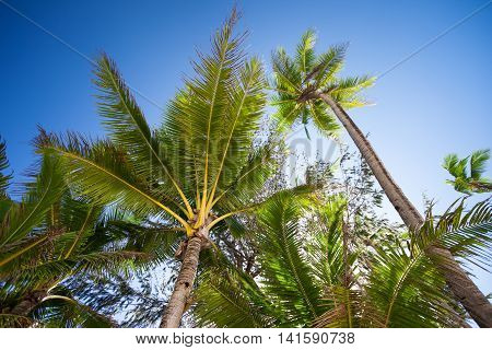 Top Of Coconut Palm Tree On Blue Sky