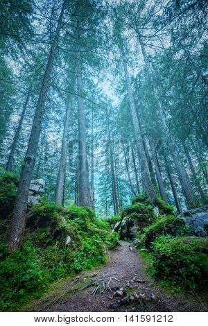 Dark misty forest landscape - big trees, path, roots and stones with fern,  vertical