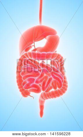3D Human Male X-ray Digestive System.