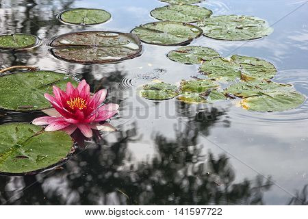 artificial pond with pink flowers of water lilies and green round leaves of lilies an green water in Crimea