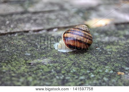 brown snail round shell with stripes crawling on old grey stone closeup